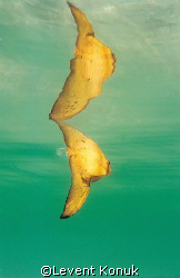 Reflection of Juvenile Batfish by Levent Konuk 